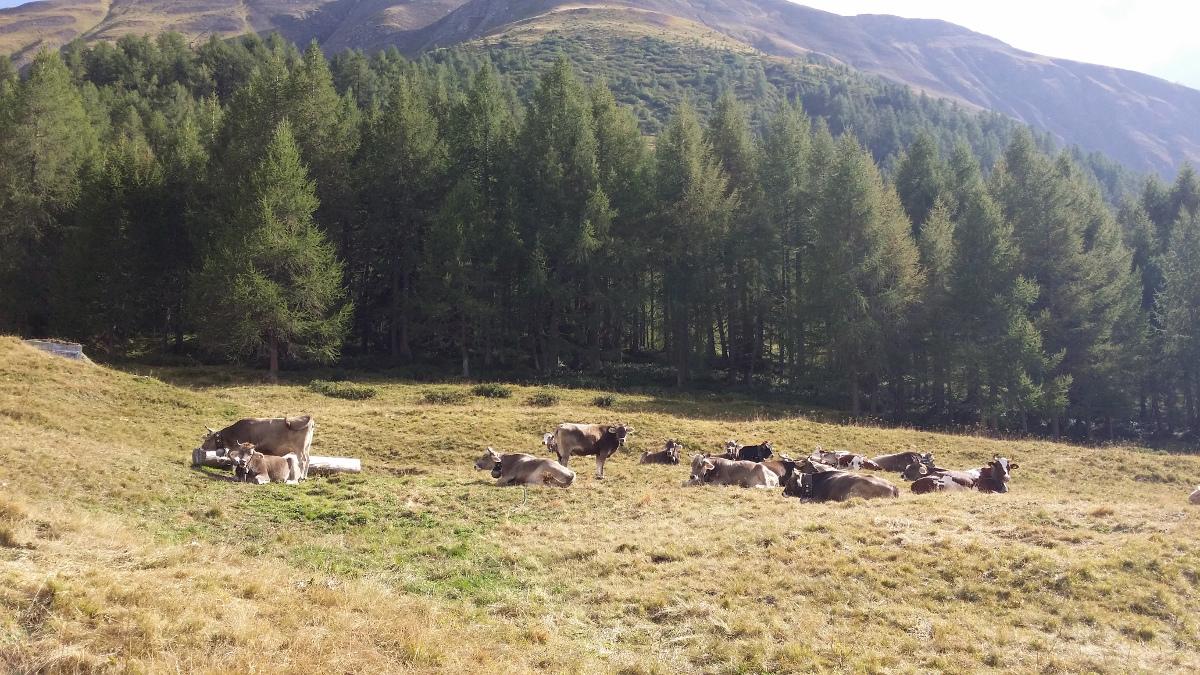Vieh im Oberbode