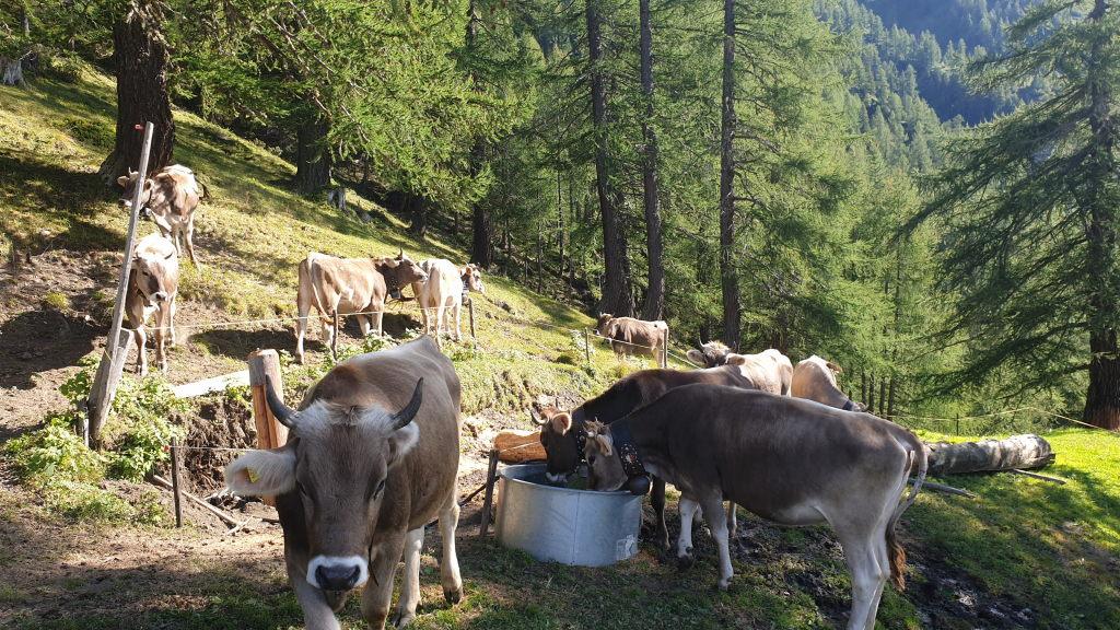 das Vieh trinkt vom Provisorium