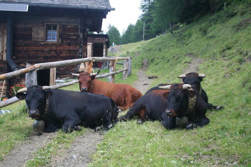 schwarze Kühe