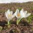 Krokus ist eine schöne Blume