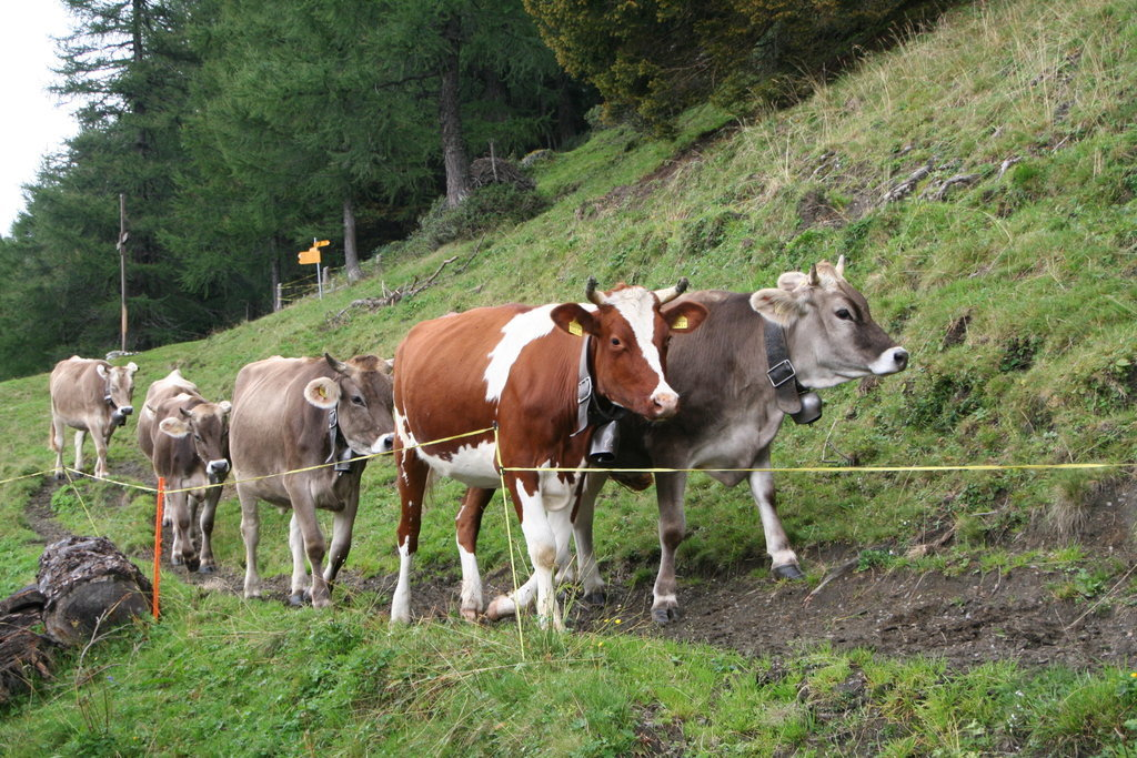 Vieh hat Durst