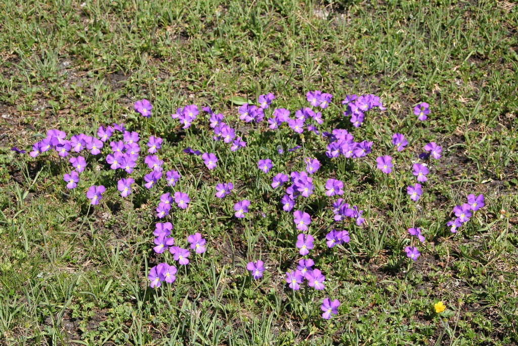 Blumen auf der Almei - Veilchen